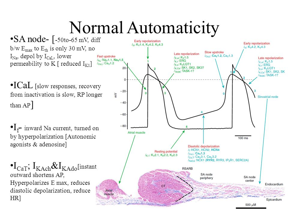Normal Automaticity SA node- [-50to-65 mV, diff b/w Emax to Eth is only 30 mV, no INa, depol by ICaL, lower permeability to K [ reduced IK1]